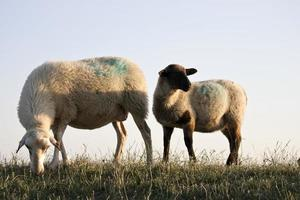 mouton photo