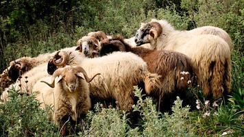 troupeau de moutons en Grèce photo