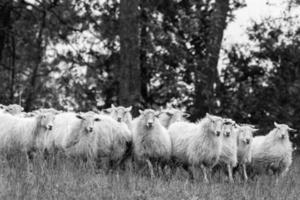 les moutons photo