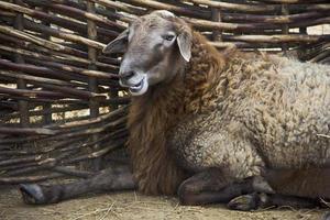 agneau joyeux dans un stylo photo