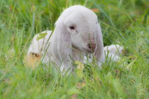 agneau vii photo