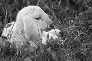 agneau iv photo