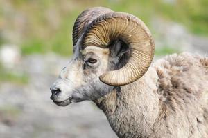 Mouflon des montagnes Rocheuses (ovis canadensis) photo