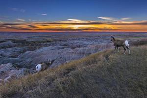 badlands bighorn photo