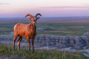 Badlands mouflons d'Amérique au lever du soleil photo