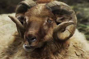bighorn pleine boucle bélier photo