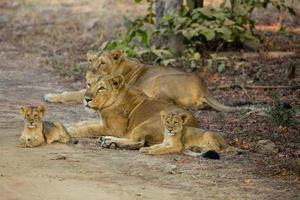 fierté de lion asiatique