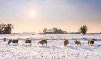 moutons d'hiver photo