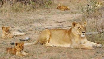 maman lion photo