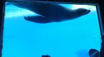 Sealion ludique laisse une trace de bulle sous l'eau photo