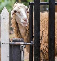 moutons en plein air photo
