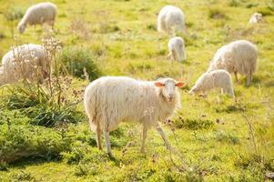 moutons paissant