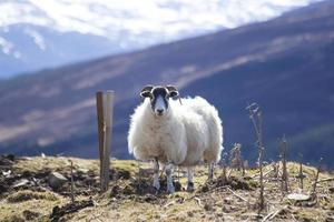 moutons des hautes terres photo