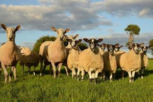 mouton curieux photo