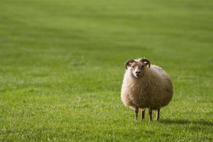 moutons en islande