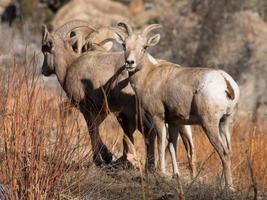 Mouflon du désert dans le canyon escalante colorado photo