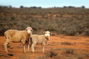 moutons de l'outback photo