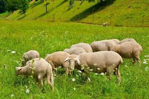 moutons paissant photo