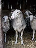 étable à moutons photo
