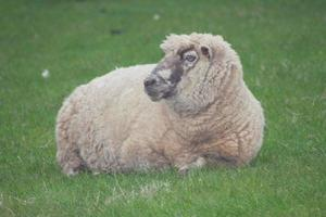 mouton couché photo