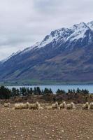 mouton mérinos photo