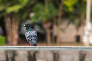 grand plan, de, regarder en arrière, rocher, pigeon, oiseau photo