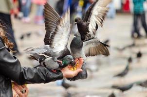 pigeons mangeant de la main photo
