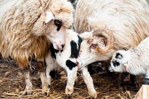 moutons dans le troupeau mangeant avec les agneaux