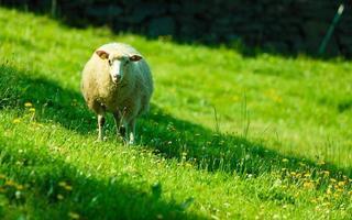 moutons, sur, beau, montagne, pré, dans, norvège photo