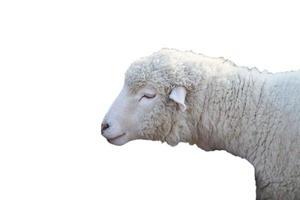 portrait de mouton photo