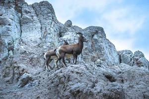 badlands bighorn moutons mère avec les jeunes photo