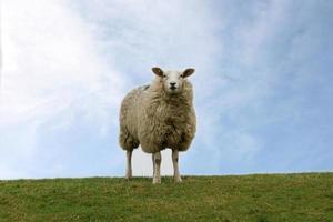 Schaf auf dem deich photo