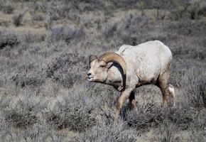 mouflon d'Amérique photo