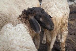 moutons dans une ferme paddock. photo