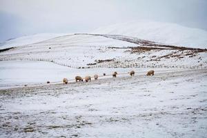 paysage d'hiver avec des moutons photo