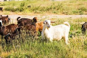 moutons dans un pré photo