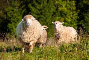 troupeau de moutons paissant photo