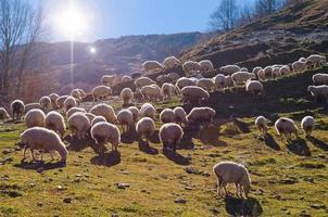 troupeau de moutons photo