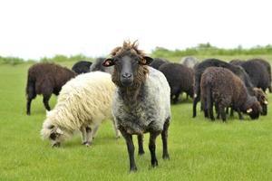 le chef du troupeau se démarque