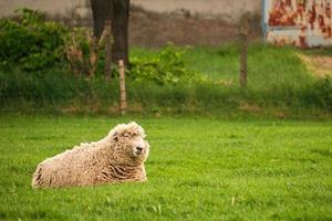mouton couché pâturage