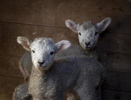 jumeaux agneau photo