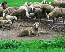 agneau sale dans la ferme