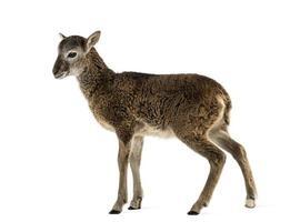 Jeune mouflon - ovis orientalis isolé sur blanc photo
