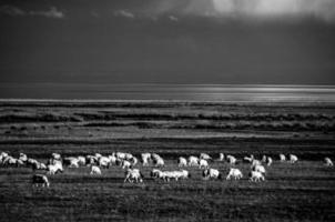 moutons à qinghai, chine photo
