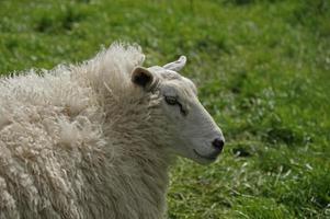 moutons dans un pâturage photo