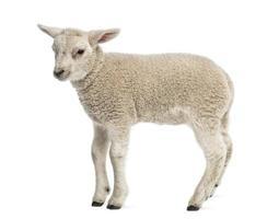 agneau (8 semaines) isolé sur blanc photo