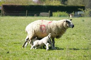 agneaux de printemps avec leur maman photo