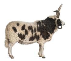 vue latérale du bélier jacob multi-cornes, ovis aries, fond blanc.