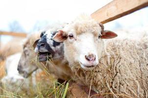 Byre moutons mange de l'herbe et du foin à la ferme locale