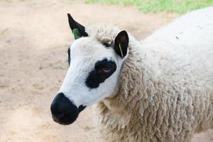 mouton panda photo